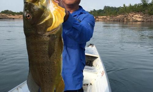 Imagem 23 de Peacock bass
