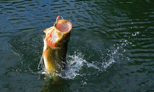 Imagem 68 de Peacock bass